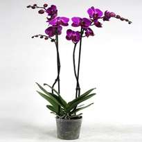 Violet two-light orchid